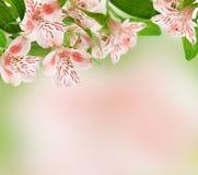 Alstroemeria blommar på vårbakgrund Royaltyfri Fotografi