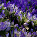 Alstroemeria blu Fotografie Stock