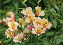 Alstroemeria-Blume Stockfotografie