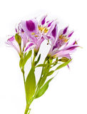 Alstroemeria bouquet Stock Photography