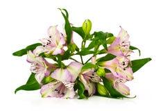 Alstroemeria bouquet Royalty Free Stock Photo