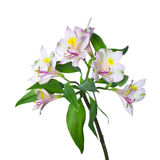 Alstroemeria branco Fotos de Stock