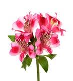 Alstroemeria bud on white background Stock Photography