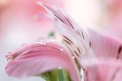 Alstroemeria close-up with drops of dew. Gently pink flower with drops. Selective focus. Stock Photo