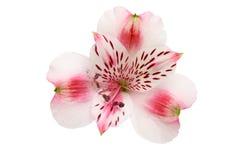 Alstroemeria. Closeup of Alstroemeria, Peruvian lily, flower isolated against white Stock Photo