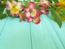 Alstroemeria flower on blue wood. Alstroemeria colored flower on blue woodn Royalty Free Stock Image