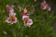 Alstroemeria Royalty Free Stock Photo