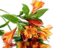 Alstroemeria com reflexão no fundo branco Lilie peruano Fotos de Stock