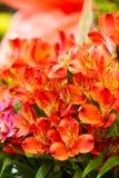 Alstroemeria, comunemente chiamato il giglio peruviano o giglio del in Fotografie Stock Libere da Diritti