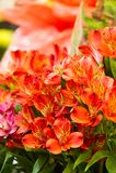Alstroemeria, comunemente chiamato il giglio peruviano o giglio del in Immagini Stock