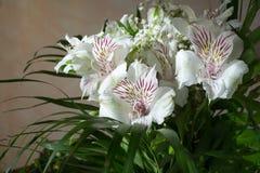 Alstroemeria, comunemente chiamato il giglio peruviano o giglio del in Immagine Stock