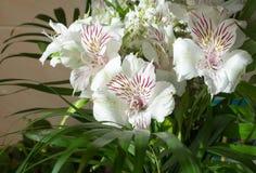 Alstroemeria, comunemente chiamato il giglio peruviano o giglio del in Fotografia Stock