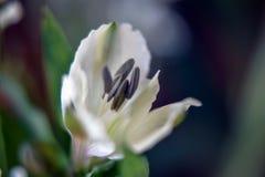 Alstroemeria de florescência Fotos de Stock