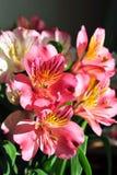 Alstroemeria dei fiori di P!nk Fotografia Stock Libera da Diritti