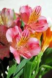 Alstroemeria dei fiori di P!nk Immagini Stock Libere da Diritti