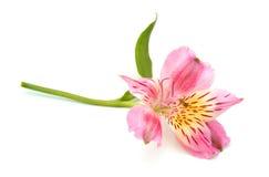 Alstroemeria dei fiori di P!nk Immagine Stock Libera da Diritti