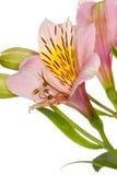Alstroemeria del fiore Immagine Stock