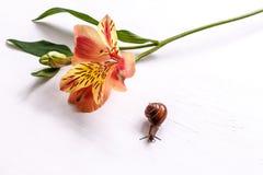 Alstroemeria del fiore e della lumaca su una tavola bianca Immagine Stock Libera da Diritti