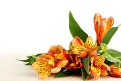 Alstroemeria del fiore su un bianco Spazio vuoto per il vostro testo Fotografia Stock Libera da Diritti