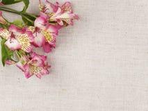 Alstroemeria dentellare del fiore Immagini Stock Libere da Diritti