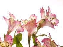 Alstroemeria dentellare del fiore Fotografie Stock