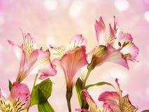 Alstroemeria dentellare del fiore Fotografia Stock Libera da Diritti