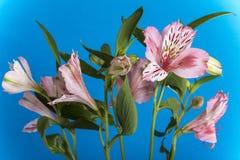 Alstroemeria, der blaue Hintergrund Stockbilder