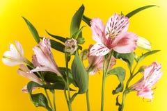 Alstroemeria, der gelbe Hintergrund Lizenzfreies Stockfoto