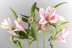 Alstroemeria, der graue Hintergrund Stockbild