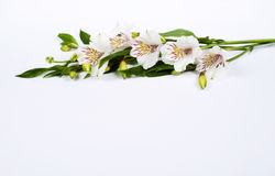 Alstroemeria di bianco del fiore Immagini Stock Libere da Diritti