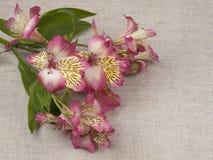 Alstroemeria di bianco del fiore Fotografie Stock Libere da Diritti