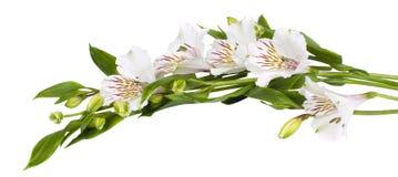 Alstroemeria di bianco del fiore Fotografia Stock