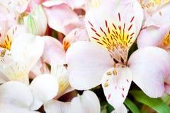 Alstroemeria di fioritura Fotografia Stock