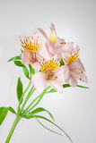 Alstroemeria di fioritura Fotografia Stock Libera da Diritti