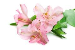 Alstroemeria di fioritura del fiore Immagini Stock