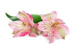 Alstroemeria di fioritura del fiore Immagine Stock