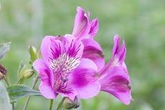 Alstroemeria di fioritura porpora in serra olandese con il fuoco selettivo Fotografia Stock Libera da Diritti