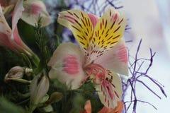 Alstroemeria die erstaunlichen Blumen stockbild