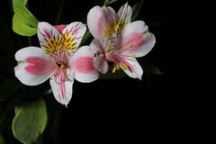 Alstroemeria Fiori dal Sudamerica Su un fondo nero Fotografia Stock