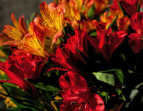 Alstroemeria on Fire in the Afternoon Sun Stock Images