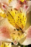 Alstroemeria A flor do Alstroemeria fotografou perto acima com gotas do orvalho Imagem de Stock