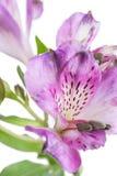 Alstroemeria Flor hermosa en fondo ligero Fotos de archivo