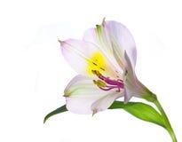 Alstroemeria flower. Alstroemeria isolated on white background Royalty Free Stock Photo