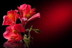 Alstroemeria flower. Isolated on black Royalty Free Stock Photos