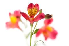 Alstroemeria flower Stock Image