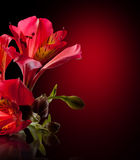 Alstroemeria flower Stock Photo