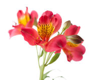 Alstroemeria flower. Isolated on white royalty free stock photos