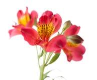 Alstroemeria flower. Isolated on white Royalty Free Stock Photos