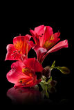 Alstroemeria flower. Isolated on black stock images