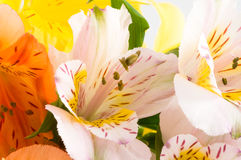Alstroemeria/ Flower Stock Photo